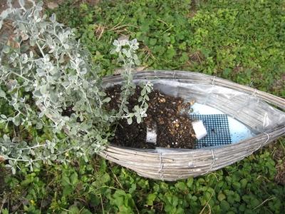 オレアリアリトルスモーキーを植えます。