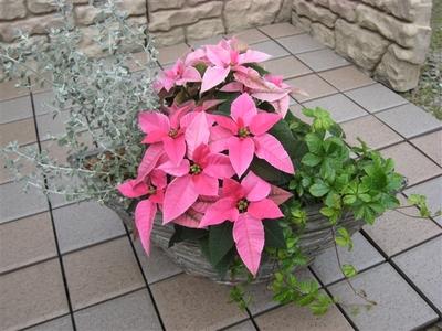 プリティー♡クリスマスの寄せ植え