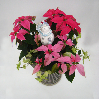 プリンセチアとヘデラ白雪姫で「Wプリンセス」クリスマスの寄せ植え