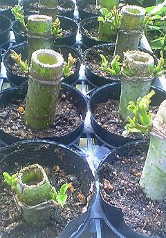 皇帝ダリアの挿し木 芽が出て
