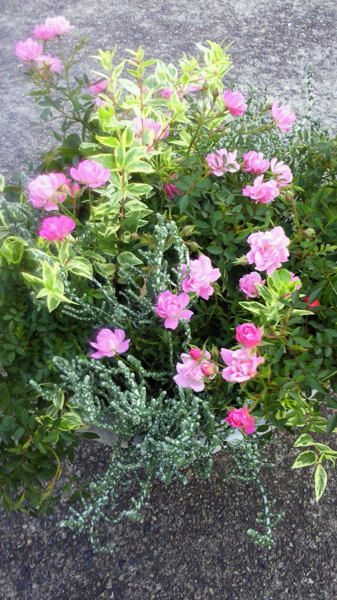 ミニバラほほえみの寄せ植え