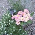 春の寄せ植え プリティピンクのプリムラ